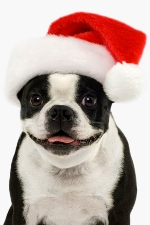 Boston Terrier in a red christmas hat